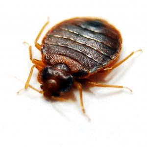 Bed Bug Control Durban offer a Bed Bug removal service that boasts a 100% guarantee they will not be coming back. Pest Worx are you local Pest Control specialists