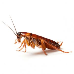 Save yourself the grief of a roach infestation by using our Cockroach Control Durban team of experts. The Pest Control specialists that care!