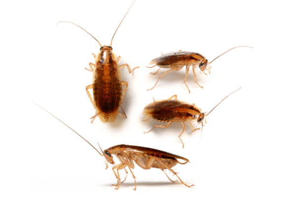 As German COckroaches grow, they change size and shape. Contact Cockroach Control Durban and let our team of experts help you with Cockroach removal.