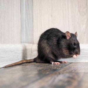 Rat Control Durban are unrivalled in the Durban Pest Control field. Contact us for free and no obligation quotations for Rat and Rodent Extermination.