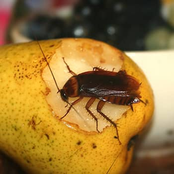 American Cockroach Control Durban do the job right the first time. Call Pest Worx Durban for fairly priced Extermination for any insect or cockroach species.