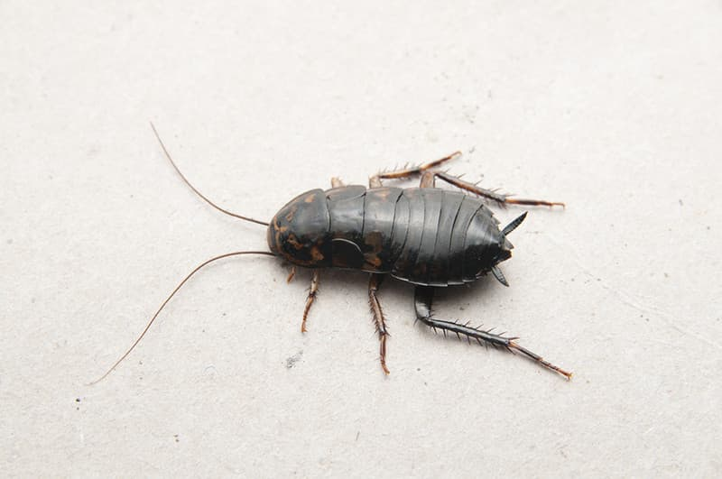 Oriental Cockroach Control Durban can deal with any level of Roach Infestation regardless of the species. Durban Pest Control are you true local Pest Extermination professionals.