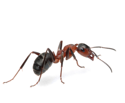 Argentine Ants in Wyebank can be a nuisance if you dont have Pest Worx by your side. Contact us for a free and no obligation quotation.