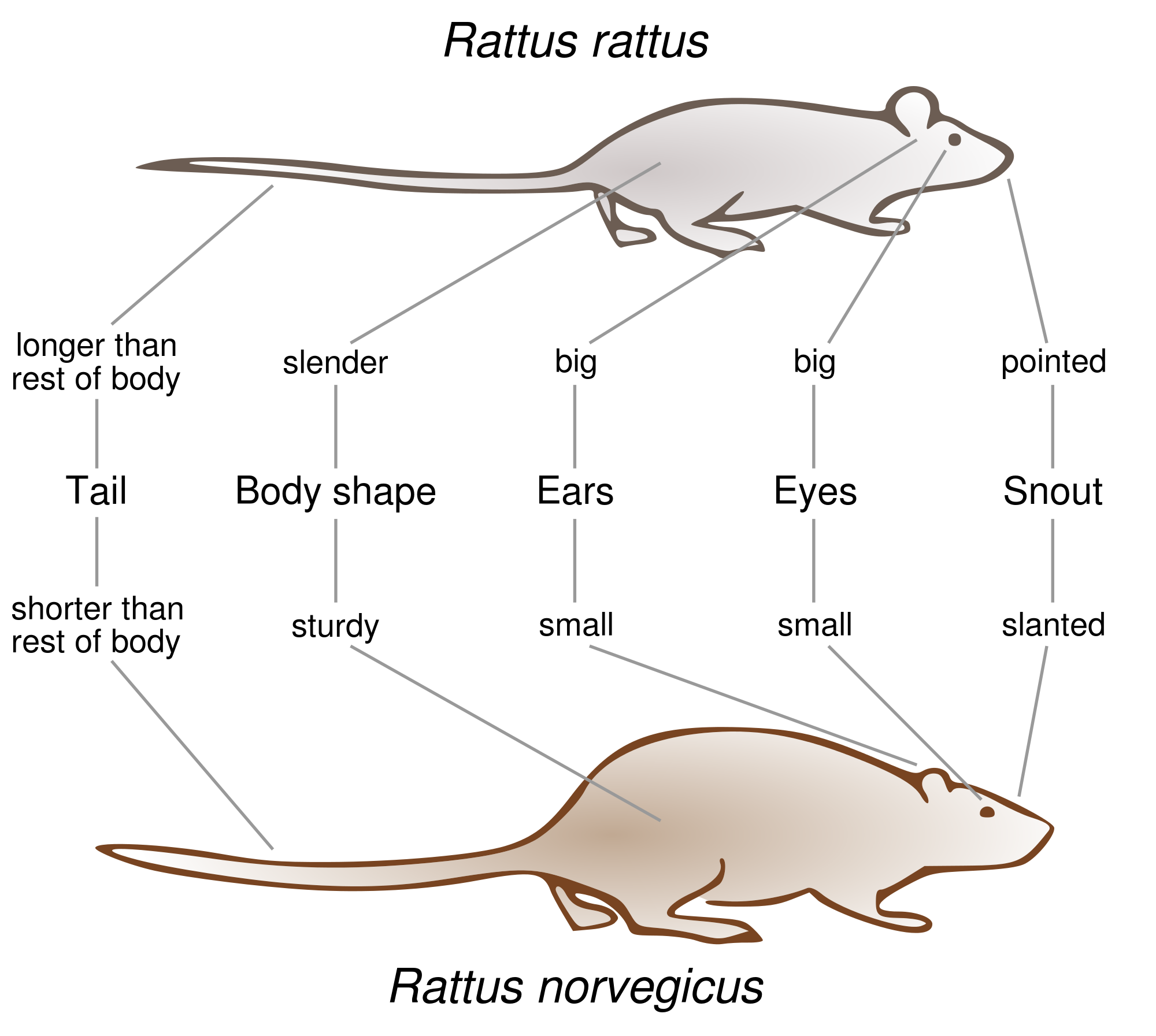 Rat Control Kloof correctly identifies your Rat species and treats them accordingly.