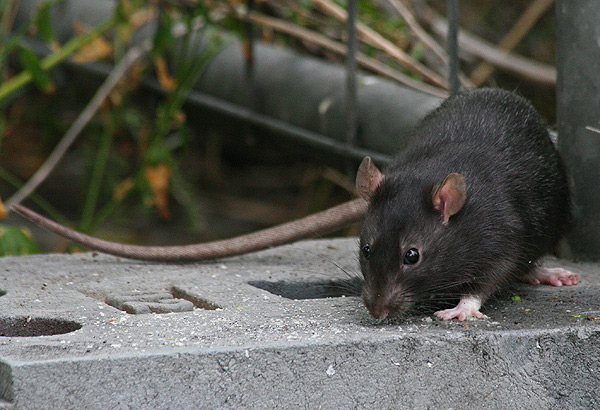 Black Rat Control Clermont by your local Rodent Removal experts here in KZN