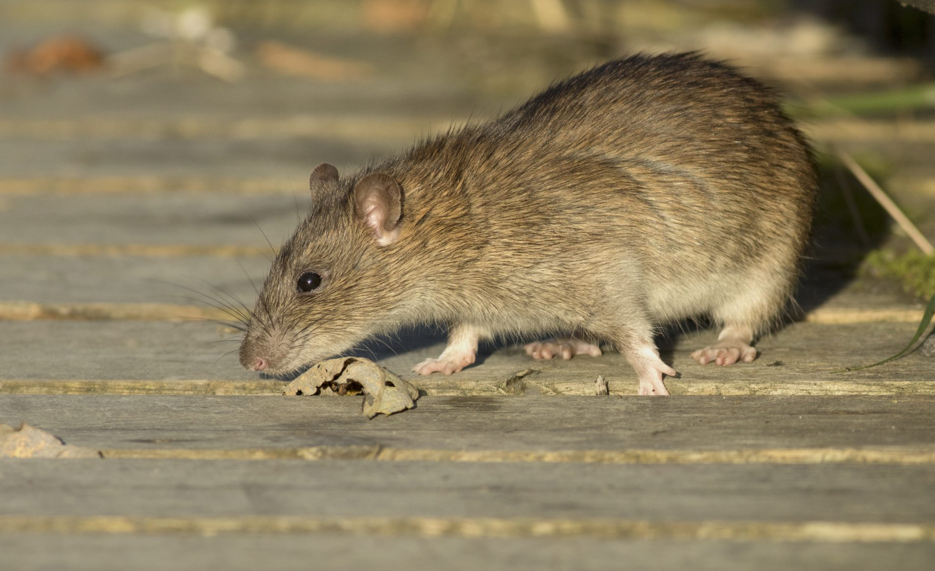 Brown Rat Control Clermont can handle any Rodent innfestation