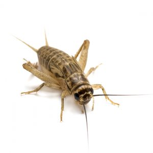 Cricket Control Durban can handle any level of Cricket infestation. Choose Pest Worx for Crawling Insect Control and removal in Durban.