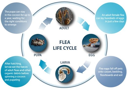 Flea Control Durban through knowledge and science. 100% successfull Flea removal in Durban