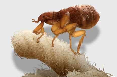 Flea Control Durban can deal with Fleas on your cats and dogs. Pest Worx are master exterminators