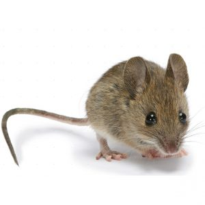 Mouse Control Durban handle any and all Rodent infestations effortlessly. Proudly a Pest Worx service