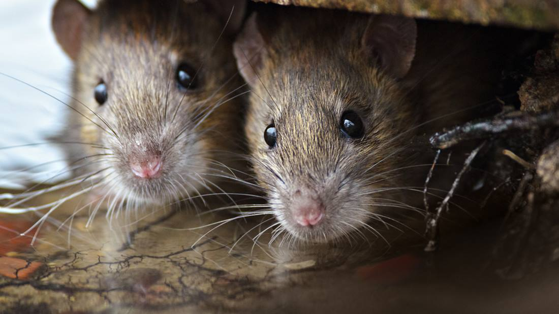 Let Rat Control Clermont handle all your Rodent extermination and removal needs. Pest Worx are your local master exterminators
