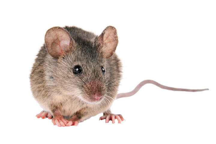 House Mouse Control Wyebank can ensure your home remains free of Rodents including Mice this winter. Pest Worx are your local professionals.