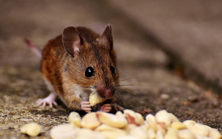 Mice in Durban pose a threat to your health. Rest assured Pest Worx has you covered!