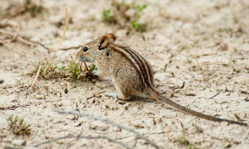 Striped Field Mouse Control Durban team of experts can correctly identify the species of Mice and threat them accordingly. A safer more holistic Pest Control treatment by Pest Worx