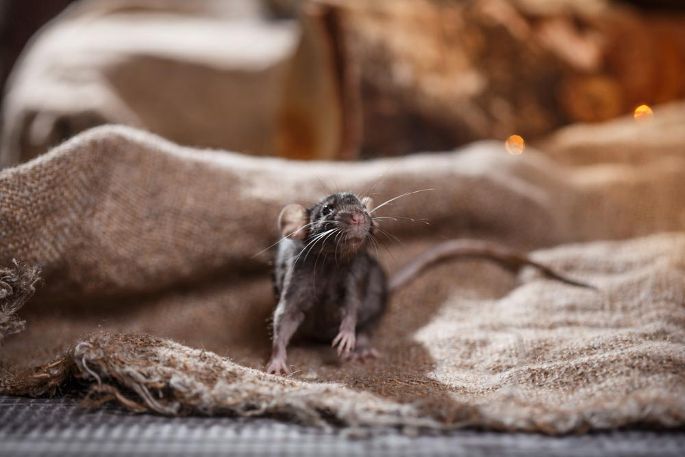 Rodent Control Yellowwood Park can handle any level of Rat or Mouse Infestation here in Yellowwood Park and surrounding areas.