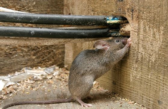 Rodent Control Yellowwood Park can successfully stop Rats and MIce from causing damage, spreading disease as well as bringing in external parasites. Durban Pest Control are your local Rodent professionals.