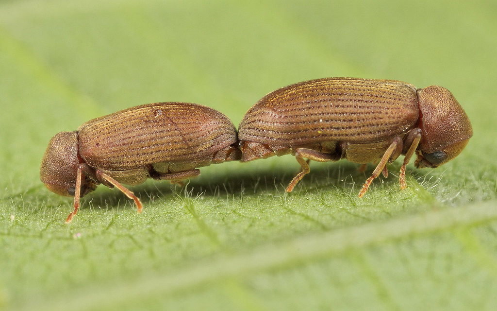 Common furniture beetles are commonly found here in Durban, Get Beetle Certificate and Compliance in Durban to come have a look for you.
