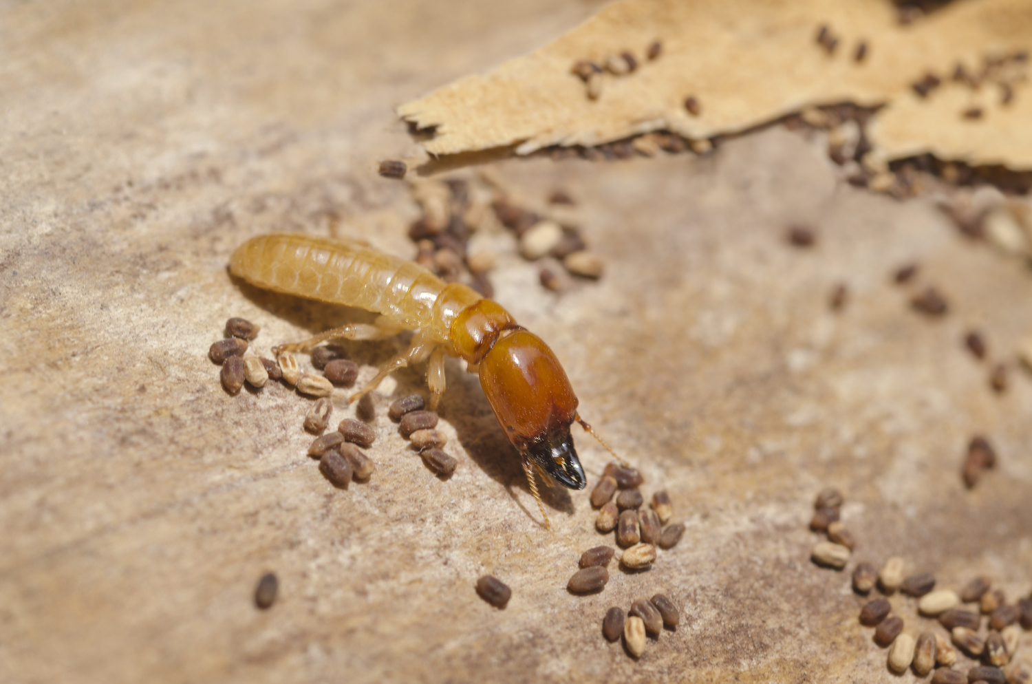 Dry-Wood termite damage can be prevented with a little help from Pest Worx here in Durban