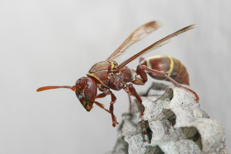 Indigenous Wasp species still nees internention. Call our team for Wasp Control and Removal in Durban