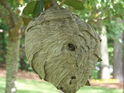 Social Wasps and Hornets are dangerous, dont let a hive go untreated, callPest Worx right away for a free quote.