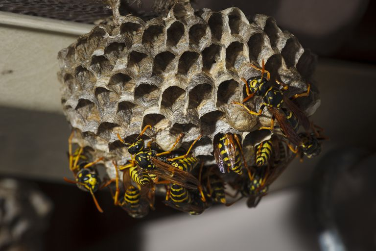 Umbrella Paper Wasps are common here in Durban. Call Pest Worx for a free quote forWasp Control and Removal in Durban