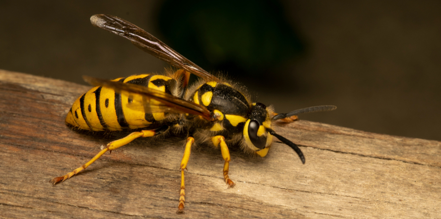 Dont fall prey to the sting of a Yellow Jacket Wasp, call your local Wasp removal team here at Pest Worx